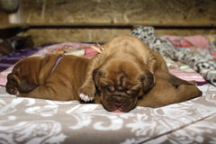 Dogue de Bordeaux - chiots Photographie stock