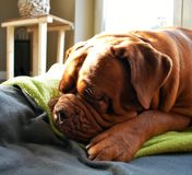 Hund schläft. Dogue de Bordeaux could sleep the whole day in the sun Royalty Free Stock Images