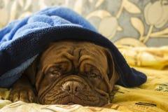 Dogue de Bordeaux dans un lit Images stock