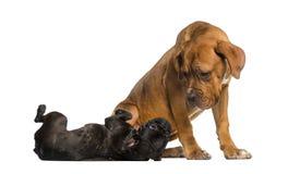 Dogue de Bordeaux, das ein Lügen der französischen Bulldogge betrachtet Lizenzfreie Stockfotografie