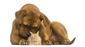 Dogue de Bordeaux, das ein Rex-Kaninchen, lokalisiert riecht Lizenzfreie Stockbilder