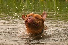 Dogue De Bordeaux dog having good shake Stock Image