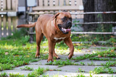 Dogue de bordeaux dog posing outdoors stock photo