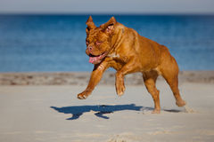 Dogue de bordeaux dog running on a beach Royalty Free Stock Image