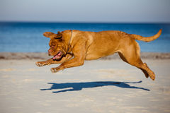 Dogue de bordeaux dog running on a beach Stock Photography