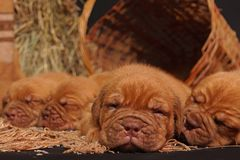 DOGUE DE BORDEAUX dog royalty free stock images
