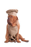 Dogue de bordeaux dressed like chef isolated. King Dogue De Bordeaux dressed like Italian Chef looking aside isolated on white background stock photos