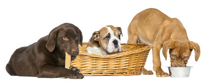 Dogue de Bordeaux eating from a dog bowl and English Bulldog Stock Photo