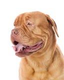 Dogue de Bordeaux en perfil. Imágenes de archivo libres de regalías