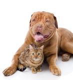 Dogue de Bordeaux et chat de léopard Image stock