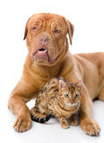 Dogue de Bordeaux et chat de léopard (Prionailurus Image stock