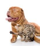Dogue de Bordeaux et chat du Bengale Images stock