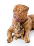 Dogue de Bordeaux et chat du Bengale Images libres de droits