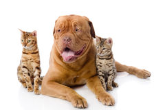 Dogue de Bordeaux et deux chats de léopard (Prionai Photo stock