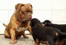 Dogue de Bordeaux et jeu de chiots de rottweiler Image libre de droits