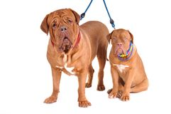 Dogue De Bordeaux Family Royalty Free Stock Images