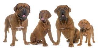 Dogue De Bordeaux Family Foto de archivo libre de regalías
