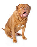 Dogue de Bordeaux (französischer Mastiff) Lizenzfreies Stockbild