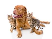 Dogue de Bordeaux (französischer Mastiff) und Bengal-Katzen (Prionailurus Stockfotografie