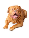 Dogue de Bordeaux (French mastiff) Royalty Free Stock Photo