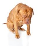 Dogue de Bordeaux (French mastiff) Royalty Free Stock Photos