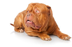 Dogue de Bordeaux (French mastiff) Stock Photo