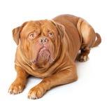 Dogue de Bordeaux (French mastiff) Stock Photography