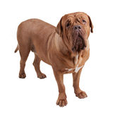 Dogue de Bordeaux/ French Mastiff Stock Images