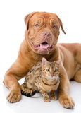 Dogue de Bordeaux (French mastiff) and Bengal cat (Prionailurus Royalty Free Stock Photos
