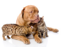 Dogue de Bordeaux (French mastiff) and Bengal cats Stock Images