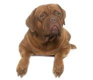 Dogue de Bordeaux Stock Images