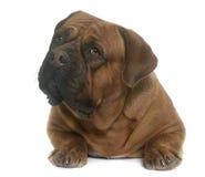 Dogue de Bordeaux Stock Photography