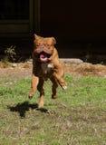 Dogue de Bordeaux Royalty Free Stock Images