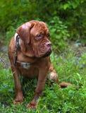 Dogue de Bordeaux on the grass Stock Photography