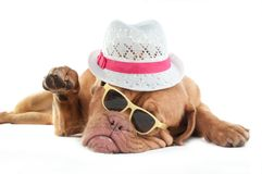 Dogue de bordeaux with  hat Royalty Free Stock Photo