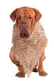 Dogue De Bordeaux lady with beautiful shawl Royalty Free Stock Images