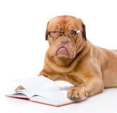 Dogue de Bordeaux leyó el libro. Imagenes de archivo