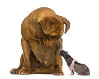 Dogue de Bordeaux, looking down at a hairless guinea pig Royalty Free Stock Photo