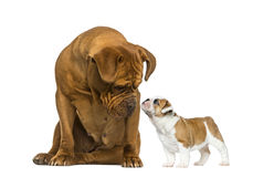 Dogue de bordeaux looking at a French Bulldog puppy Royalty Free Stock Photos
