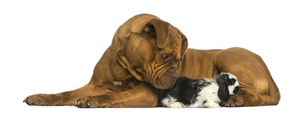 Dogue de Bordeaux and Lop rabbit lying together, isolated. On white stock photos