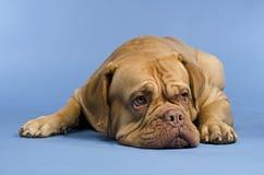 Dogue De Bordeaux lying Royalty Free Stock Photos