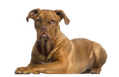 Dogue de Bordeaux lying down (8 months old) Royalty Free Stock Photography