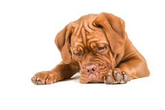 Dogue de bordeaux lying on the floor staring at the floor. With paws to the front isolated on a white background Stock Image