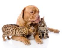 Dogue de Bordeaux (mastín francés) y gatos de Bengala (Prionailurus Imagenes de archivo