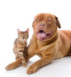 Dogue de Bordeaux (mastiff français) et chat de léopard (Prionailurus Photos stock