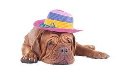 Dogue de bordeaux med sommarhatten Arkivbild