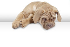 Dogue de Bordeaux, 9 months old Royalty Free Stock Photography