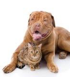 Dogue de Bordeaux och leopardkatt Fotografering för Bildbyråer