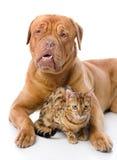 Dogue de Bordeaux och leopardkatt (Prionailurus Fotografering för Bildbyråer