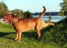 Dogue de Bordeaux ou mastiff français Image stock